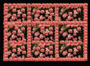 Rosen051-536aneu4Ausstellung