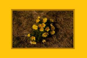 Bild016b-Adonis001-Flowers-SerieG-Adonis2R