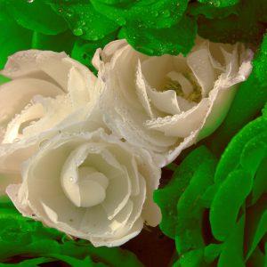 Rose2c