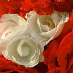 Rose2d