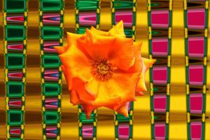 Rose001a-Weichzeichner-Wettbewerb