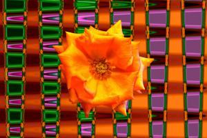Rose002a-Weichzeichner-Wettbewerb