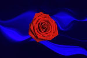 Flowers062-Rosen009-nacht7-Art