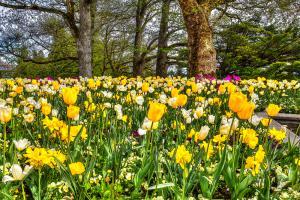 Flowers092-Tulpen003-Stella08-Blumen10a-7664 8TT1-Art