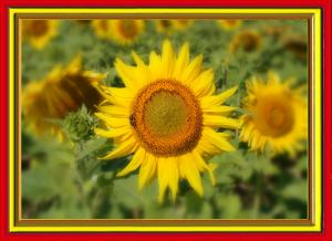 Sonnenblumen019b-SerieS5-Art1