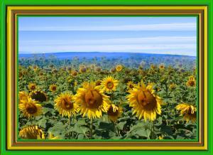 Sonnenblumen020a-SerieS5-Sonne05b-Art1